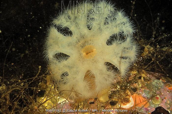 Giant plumrose anemone (Metridium farcimen), Alaska, USA, Gulf of Alaska Pacific ocean  -  Pascal Kobeh/ npl