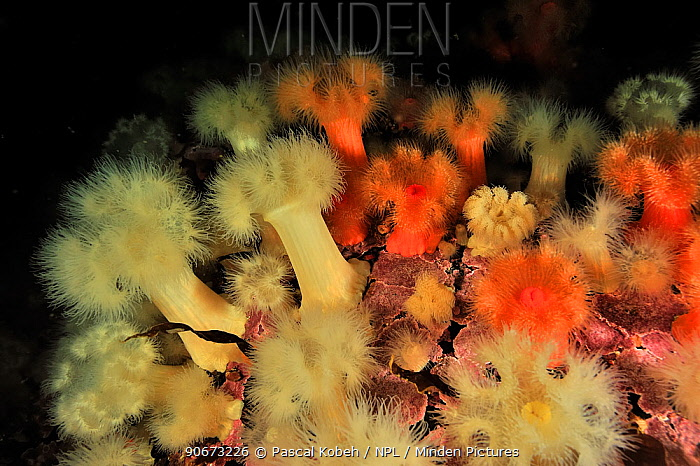 Underwater reef of Alaska covered with Giant plumrose anemones (Metridium farcimen), Alaska, USA, Gulf of Alaska Pacific ocean  -  Pascal Kobeh/ npl