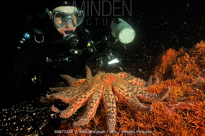 Diver taking a picture of Sunflower sea star (Pycnopodia helianthoides), Alaska, USA, Gulf of Alaska Pacific ocean August 2011  -  Pascal Kobeh/ npl