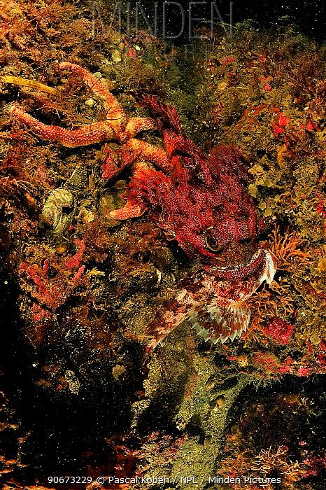 Buffalo sculpin (Enophrys bison) red morph, feeding on another sculpin, Alaska, USA, Gulf of Alaska Pacific ocean  -  Pascal Kobeh/ npl