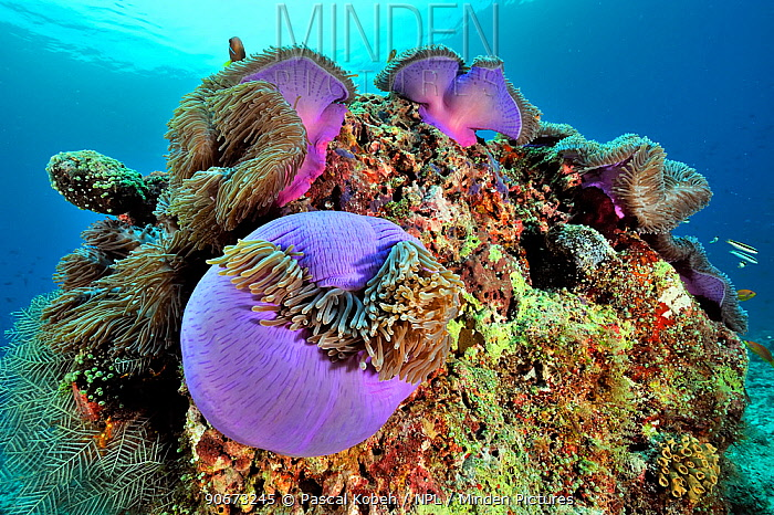 Magnificent sea anemones (Heteractis magnifica) with Maldives anemonefish (Amphiprion nigripes) on a coral reef, Maldives Indian ocean  -  Pascal Kobeh/ npl