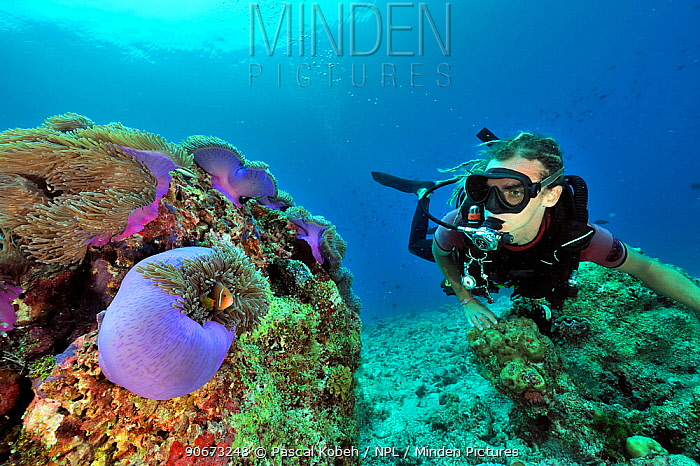 Diver looking at Magnificent sea anemones (Heteractis magnifica) with Maldives anemonefish (Amphiprion nigripes) on a coral reef, Maldives Indian ocean April 2011  -  Pascal Kobeh/ npl