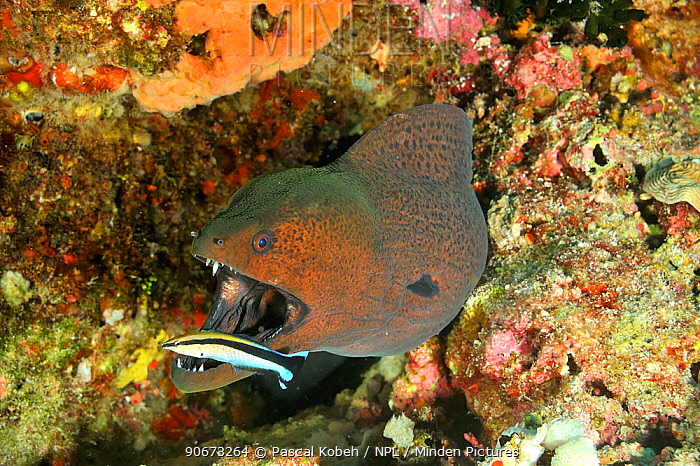 Bluestreak cleaner wrasses (Labroides dimidiatus) cleaning a Giant moray (Gymnothorax javanicus) Maldives Indian Ocean  -  Pascal Kobeh/ npl