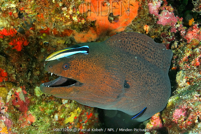 Two Bluestreak cleaner wrasses (Labroides dimidiatus) one a juvenile, cleaning a Giant moray (Gymnothorax javanicus) Maldives Indian Ocean  -  Pascal Kobeh/ npl