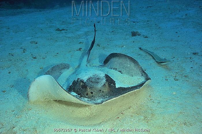 Blackspotted stingray (Taeniura melanospilos) and Striped remora (Echeneis naucrates) laying on sandy sea bed, Maldives Indian Ocean  -  Pascal Kobeh/ npl