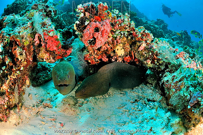 Two Giant morays (Gymnothorax javanicus) coming out of their burrows on coral reef, with Oriental sweetlips (Plectorhinchus orientalis) on background, Maldives Indian Ocean  -  Pascal Kobeh/ npl