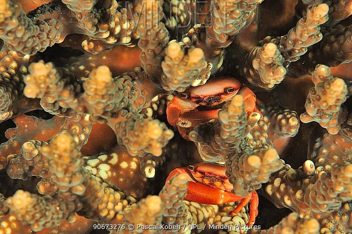 Two Crabs (Tetralia cavimana) hidden in a hard coral, coast of Dhofar and Hallaniyat islands, Oman Arabian Sea  -  Pascal Kobeh/ npl