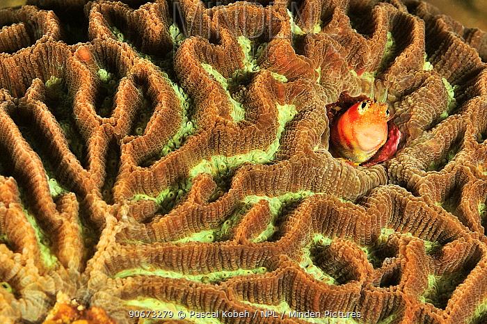 Blenny (Blennioidei) in a hard coral, coast of Dhofar and Hallaniyat islands, Oman Arabian Sea  -  Pascal Kobeh/ npl