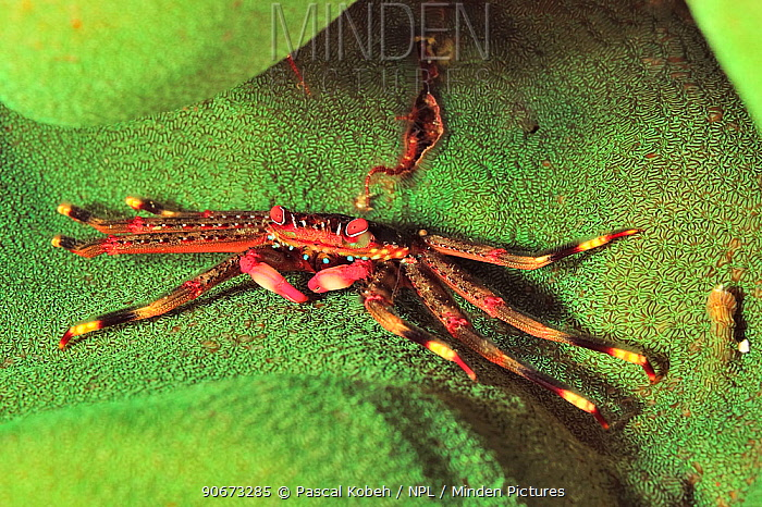 Black coral crab (Quadrella maculosa) on a hard coral, coast of Dhofar and Hallaniyat islands, Oman Arabian Sea  -  Pascal Kobeh/ npl