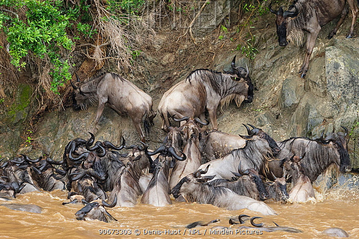 Wildebeest (Connochaetes taurinus) unable to climb steep bank after swimming across Mara river during migration, Masai-Mara game reserve, Kenya  -  Denis Huot/ npl