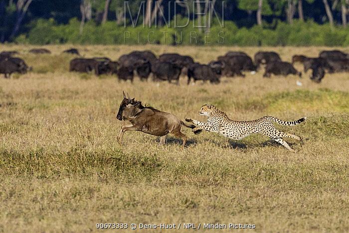 Male Cheetah (Acinonyx jubatus) hunting young Wildebeest (Connochaetes taurinus) Masai-Mara game reserve, Kenya  -  Denis Huot/ npl