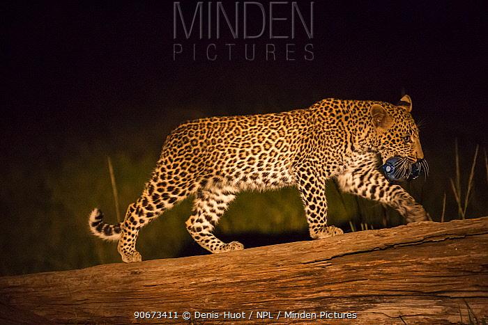 Young Leopard (Panthera pardus) walking at night, carrying plastic bottle, Masai-Mara game reserve, Kenya  -  Denis Huot/ npl