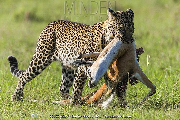 Leopard (Panthera pardus) female carrying prey, Masai-Mara game reserve, Kenya  -  Denis Huot/ npl