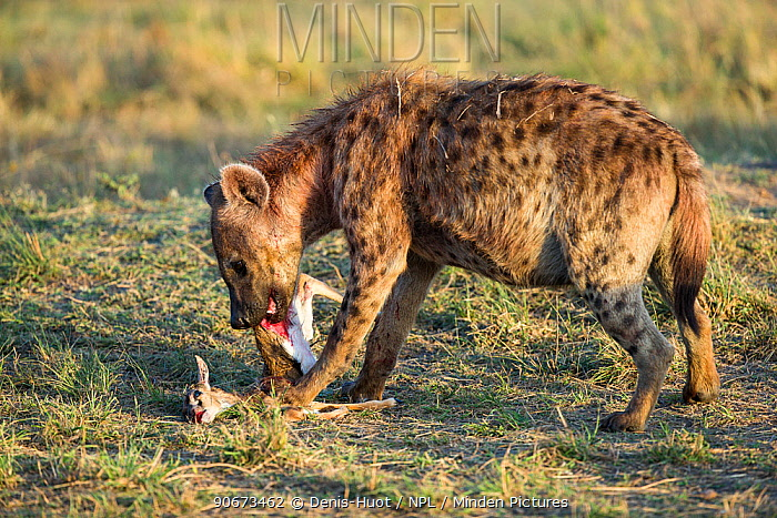 Spotted hyaena (Crocuta crocuta) female feeding on baby Thomsons gazelle (Eudorcas thomsonii) Masai-Mara game reserve, Kenya  -  Denis Huot/ npl