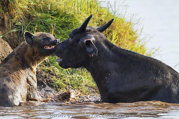 Spotted hyaena (Crocuta crocuta) biting Buffalo (Syncerus caffer) on the nose, Masai-Mara game reserve, Kenya  -  Denis Huot/ npl