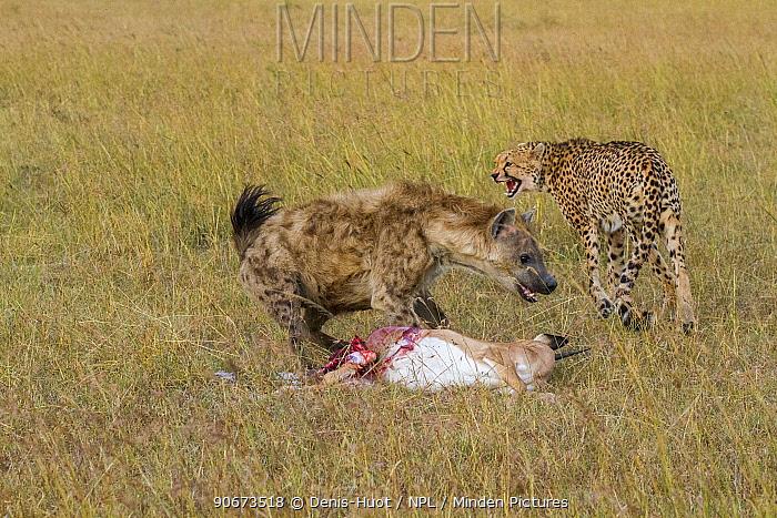 Juvenile Cheetah (Acinonyx jubatus) fighting with Spotted hyaena (Crocuta crocuta) over kill, Masai-Mara game reserve, Kenya  -  Denis Huot/ npl