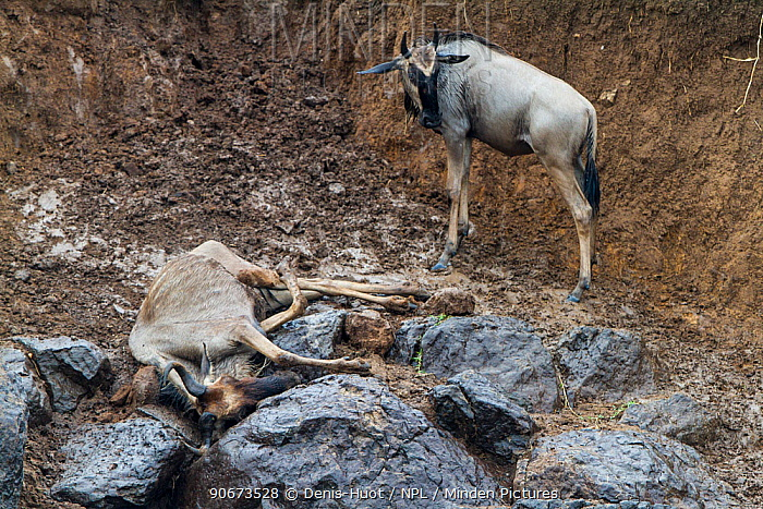 Wildebeest (Connochaetes taurinus) unable to climb steep bank during the crossing of the Mara river, stood with carcass of another Masai-Mara game reserve, Kenya  -  Denis Huot/ npl