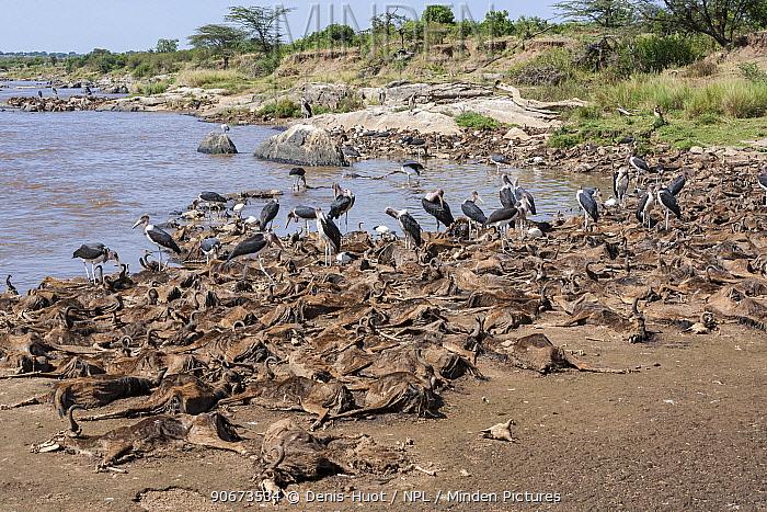 Dead Wildebeest (Connochaetes taurinus) at edge of river, killed during river crossing Mara river, Masai-Mara game reserve, Kenya  -  Denis Huot/ npl