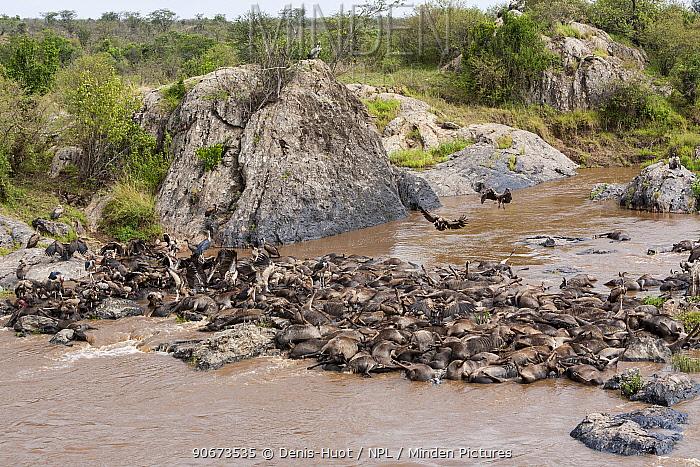 Dead Wildebeest (Connochaetes taurinus) in river, killed during crossing Mara river, Masai-Mara game reserve, Kenya  -  Denis Huot/ npl