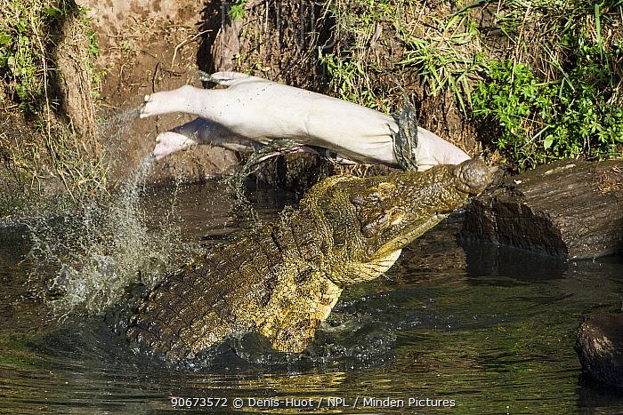 Nile crocodile (Crocodylus niloticus) feeding on young dead hippo (Hippopotamus amphibius), Masai-Mara game reserve, Kenya  -  Denis Huot/ npl
