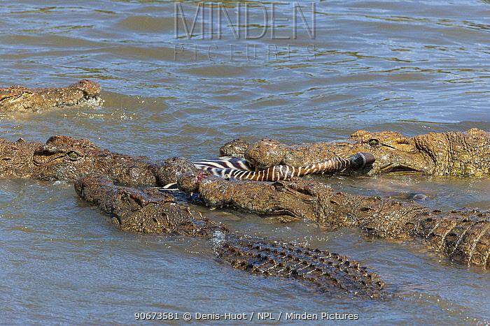 Nile crocodiles (Crocodylus niloticus) starving group feeding on zebra, Masai-Mara game reserve, Kenya  -  Denis Huot/ npl