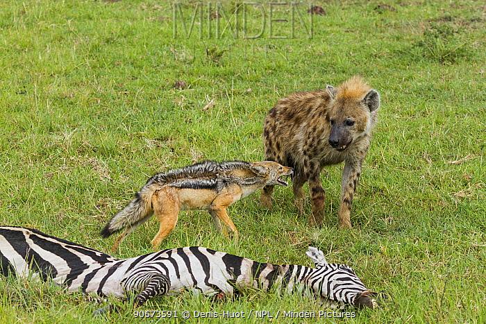 Black-backed jackal (Canis mesomelas) and Spotted hyaena (Crocuta crocuta) interaction at zebra carcass, Masai-Mara game reserve, Kenya  -  Denis Huot/ npl
