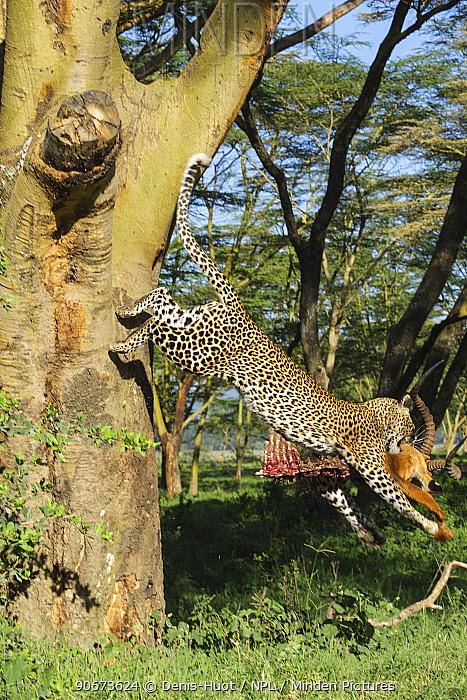 Leopard (Panthera pardus) male with prey jumping from tree, Nakuru National Park, Kenya  -  Denis Huot/ npl