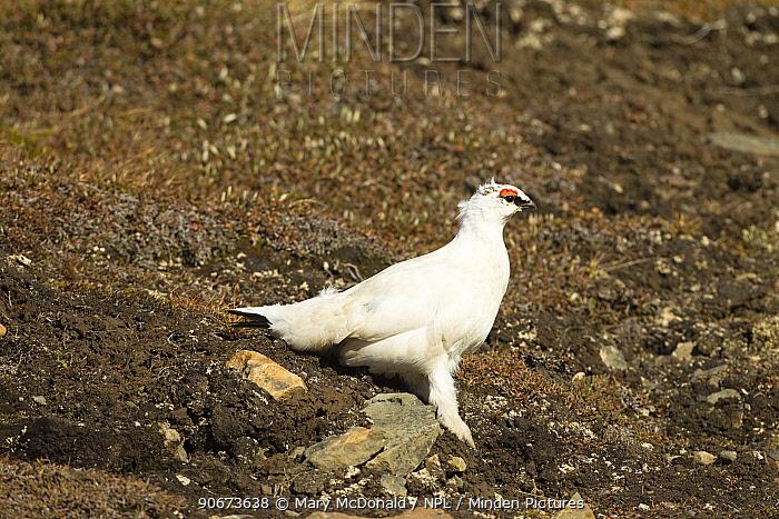 Rock ptarmigan (Lagopus muta) male in winter plumage, Longyearbyen, Spitsbergen, Svalbard, Norway June  -  Mary Mcdonald/ npl
