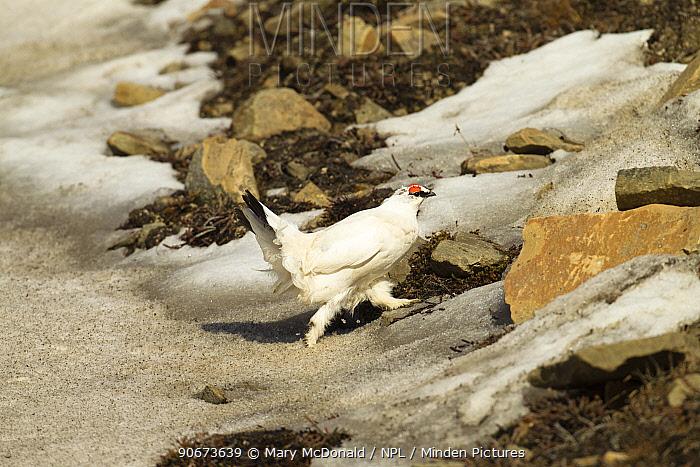 Rock ptarmigan (Lagopus muta) male in winter plumage running across snow, Longyearbyen, Spitsbergen, Svalbard, Norway June  -  Mary Mcdonald/ npl