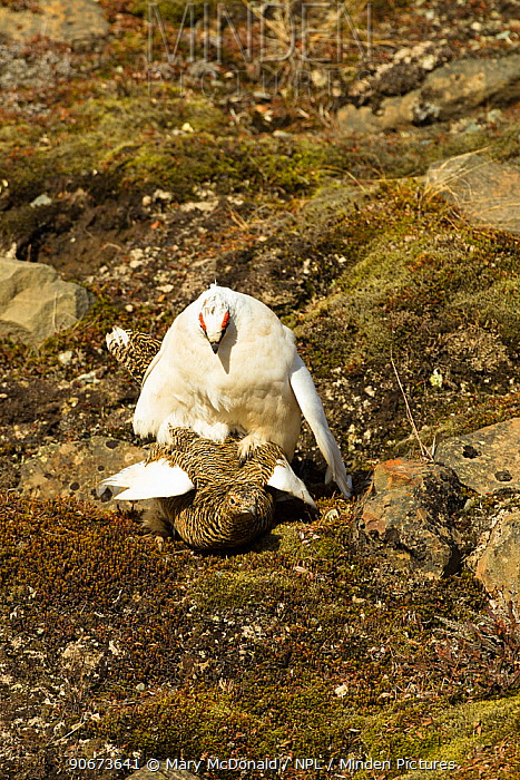 Rock ptarmigan (Lagopus muta) pair mating with female in summer plumage and male in winter plumage, Longyearbyen, Spitsbergen, Svalbard, Norway June  -  Mary Mcdonald/ npl