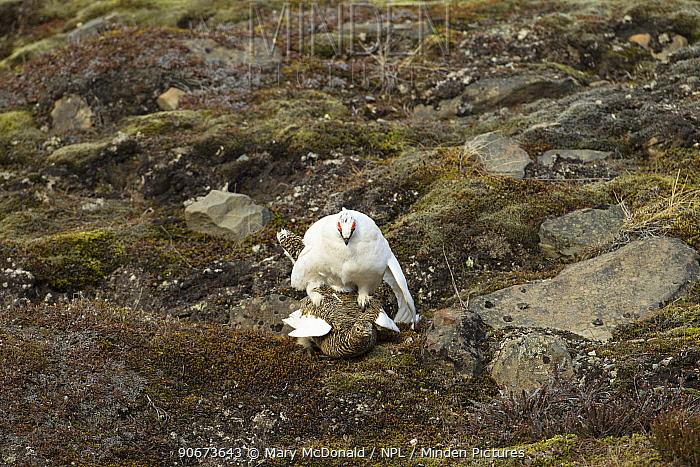 Rock ptarmigan (Lagopus muta) pair mating with female in summer plumage and male in winter plumage, Longyearbyen, Spitsbergen, Svalbard, Norway June  -  Mary Mcdonald/ npl