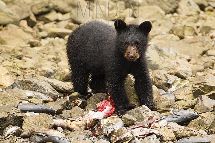 Black bear (Ursus americanus) spring cub eating chum, dog salmon (Oncorhynchus keta), Kake Village, Kuprenof Island, SE Alaska, USA August  -  Mary Mcdonald/ npl
