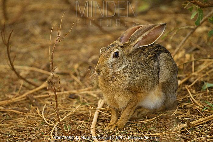 African savanna hare (Lepus microtis), Samburu Game Reserve, Kenya October  -  Mary Mcdonald/ npl
