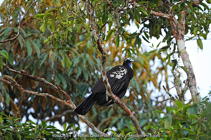 Trinidad piping guan (Pipile pipile) perched, Trinidad and Tobago  -  Robin Chittenden/ npl