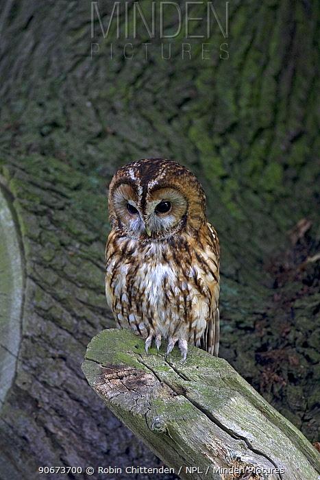 Tawny owl (Strix aluco) perched on log, Spaldington, Yorkshire, UK, July  -  Robin Chittenden/ npl
