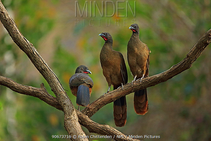 Rufous-vented chachalacas (Ortalis ruficauda) perched on branch, Trinidad and Tobago  -  Robin Chittenden/ npl