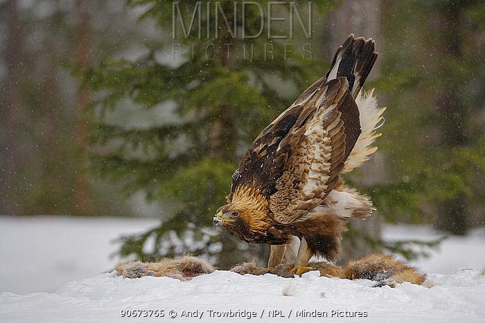 Golden Eagle (Aquila chrysaetos) feeding on a red fox (Vulpes vulpes) carcass in snowy conditions Kuusamo, Finland, March  -  Andy Trowbridge/ npl