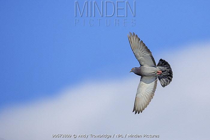 European wood pigeon (Columba palumbus) in flight Southern Norway April  -  Andy Trowbridge/ npl