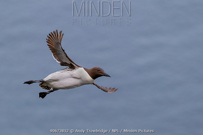 Common Guillemot (Uria aalge) in flight Shetland Islands, Scotland, UK July  -  Andy Trowbridge/ npl