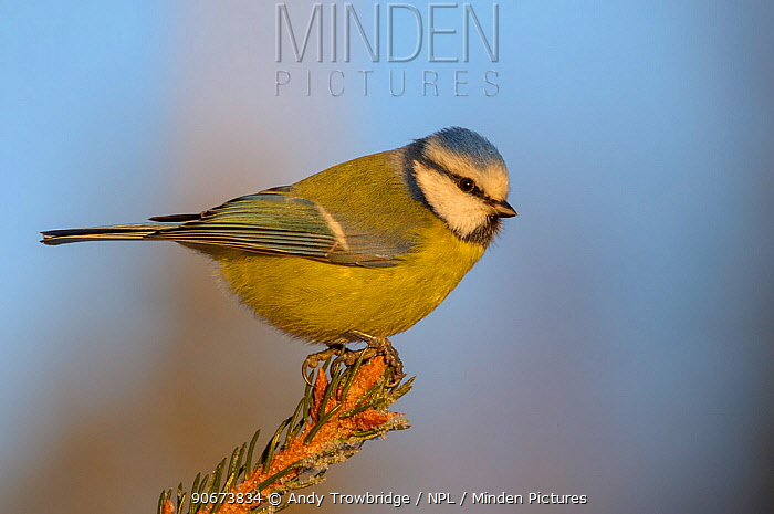 Blue tit (Cyanistes caeruleus) perched on frosty spruce tree (Picea abies) Southern Norway, February  -  Andy Trowbridge/ npl