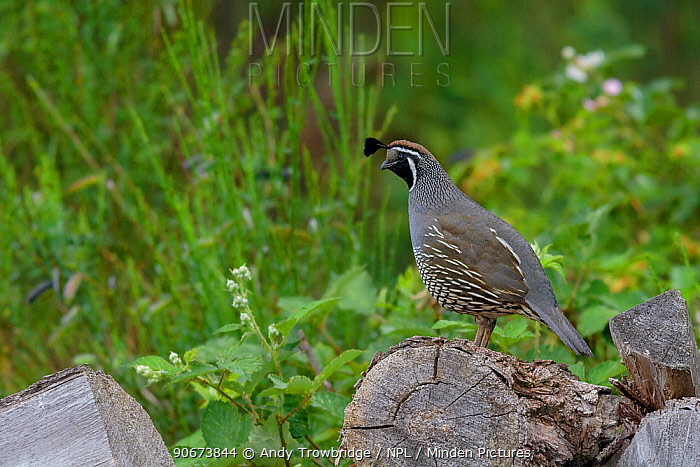 California Quail (Callipepla californica) perched on log in the rain Introduced Species Hanmer Springs, Canterbury, South Island, New Zealand December  -  Andy Trowbridge/ npl