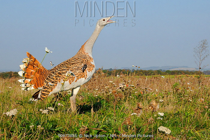 Low wide angle close up of an adult male Great Bustard (Otis tarda) calling, with another flying in the background Part of reintroduction project of birds from Russia Salisbury Plain, Wiltshire, UK, September  -  Nick Upton/ npl