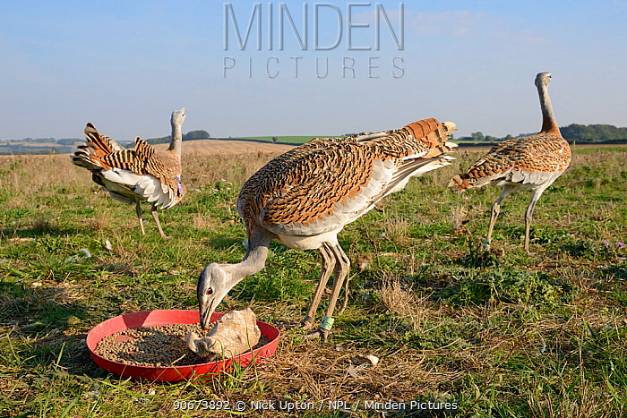 Low wide angle view of recently released young Great bustards (Otis tarda) eating mealworms at temporary feeding station on Salsibury plain, with another youngster standing and adult calling in background Part of reintroduction project with birds of Russian and Spanish origin Salisbury Plain farmland, Wiltshire, UK, September 2014  -  Nick Upton/ npl