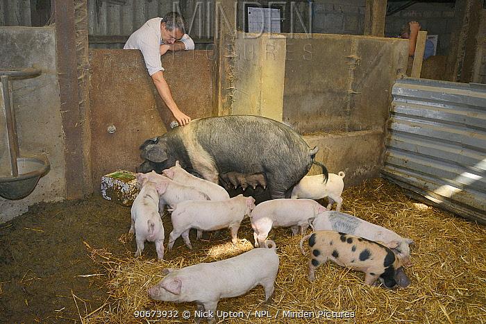 Veterinarian Dewi Jones inspecting a British Saddleback sow and her litter of piglets in a barn, Gloucestershire, UK, September 2014 Model released  -  Nick Upton/ npl