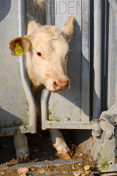 Charolais calf held in a crush for veterinary treatment, Wiltshire, UK, September 2014  -  Nick Upton/ npl