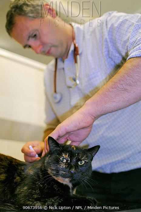 Veterinarian Dewi Jones treating a domestic cat with Harvest mites (Trombiculicidae) in its ears in his clinic, Wiltshire, UK, September 2014 Model released  -  Nick Upton/ npl