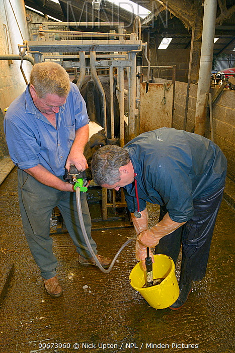 Veterinarian Dewi Jones pumping coffee into the stomach of a sick Holstein Friesian cow (Bos taurus) held by a farmer, to help purge a blockage, Gloucestershire, UK, September 2014 Model released  -  Nick Upton/ npl