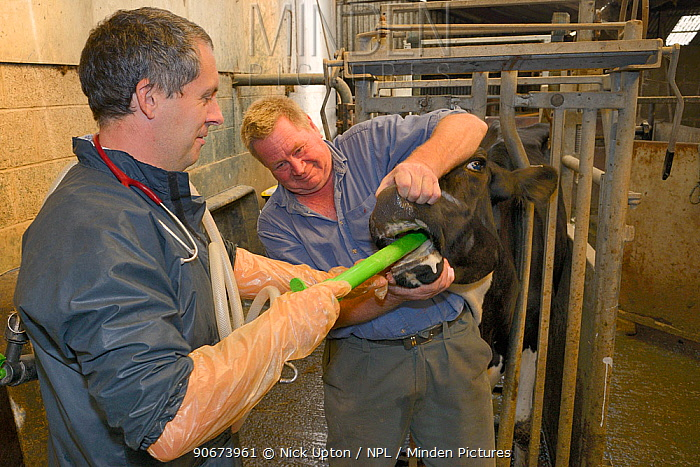 Veterinarian Dewi Jones inserting a tube into the stomach of a sick Holstein Friesian cow (Bos taurus) held by a farmer, ahead of pumping coffee in to purge blockage, Gloucestershire, UK, September 2014 Model released  -  Nick Upton/ npl