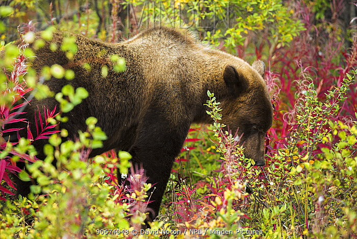 Juvenile Grizzly bear (Ursus arctos horribilis) foraging among fireweed, Kluane National Park, Yukon Territories, Canada, September  -  David Noton/ npl