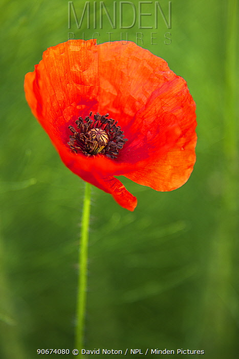 Common poppy (Papaver rhoeas) in flower, Marche, Italy, May  -  David Noton/ npl